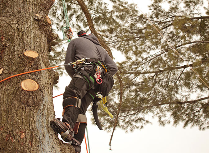 Apex Tree And Landscape employee trimming a tree