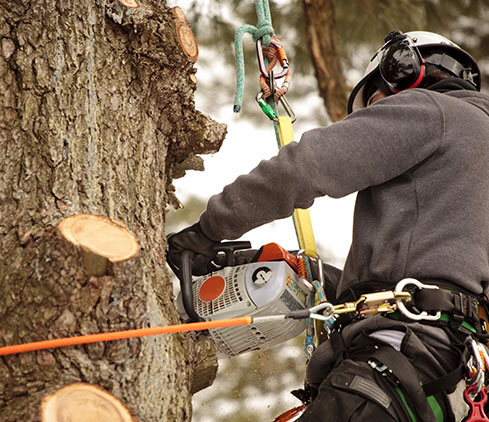 Apex Tree And Landscape employee cutting a tree down