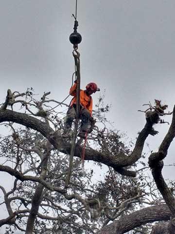 Tree removal in Venice